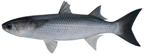 sea mullet  info catch cook buy