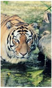 Wild Tiger Wallpapers   HD Wallpapers   ID #11770
