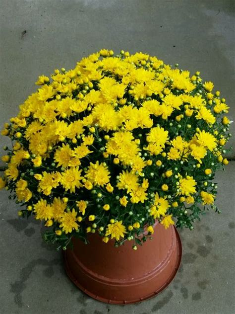 Mums the Word! | North Carolina Cooperative Extension