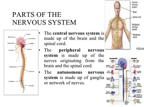 Human Nervous System Parts And Functions