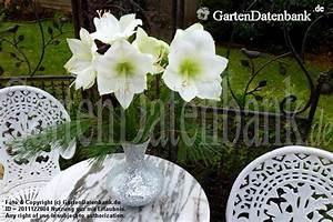 Amaryllis In Der Vase : amaryllis ritterstern bilder fotos hippeastrum infos ~ Lizthompson.info Haus und Dekorationen