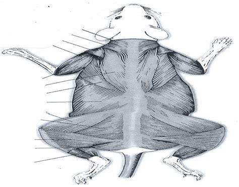 dorsal view  rat muscles purposegames
