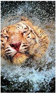 tiger hd wallpaper - HD Desktop Wallpapers | 4k HD