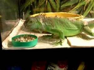 Green Iguana eating Zoo-Med All Natural food. - YouTube
