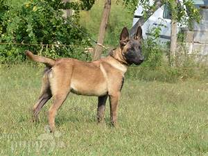 Echo - Belgian Malinois Puppy for sale | Euro Puppy