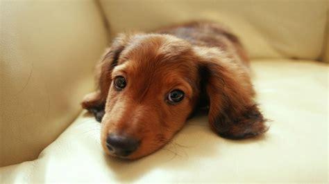 Datsun Puppies by 45 Cutest Miniature Dachshund Dogs Golfian