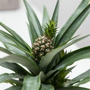 Plant D Ananas : pineapple plant ananas champaca by stupid egg interiors ~ Melissatoandfro.com Idées de Décoration