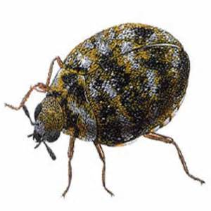 Carpet Beetles Everywhere how to get rid of carpet beetles step by step