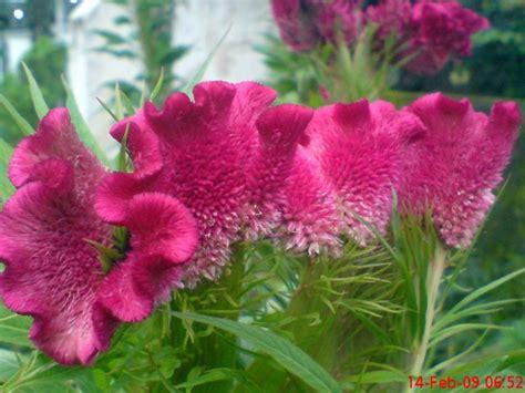 bunga unik bunga jengger ayam jeprat jepret hape