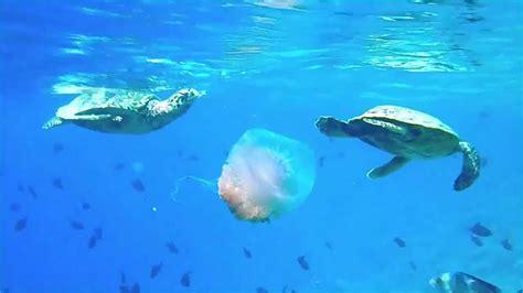 jellyfish eating turtles maldives snorkeling