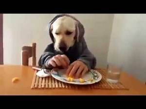 Dogs eating like humans - Labradors funny video!