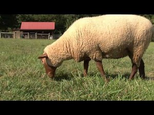 Farm Field Day: Tunis Sheep and Wool