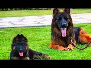 German Shepherd Double Coat Long Hair Show Line Dog