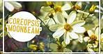 Plant of the Week: Coreopsis 'Moonbeam'