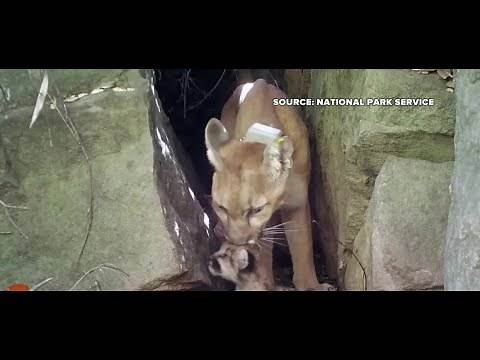 Southern CA experiences a mountain lion baby boom