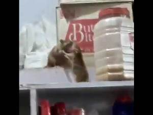 WWE fight mouse vs mouse || love animals world || law
