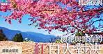 桃園復興|恩愛農場露營區|櫻花與雲海的紅白大對決|高海拔雲海、超美櫻花祭、拉拉山水蜜桃、特產恩愛茶、立體翠綠山脈|桃園拉拉山