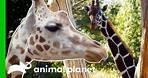 Meet The Beautiful Giraffes Of The Bronx Zoo! | The Zoo