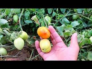 Tomato plants in my home and some tomato growing tips - Urdu/Hindi