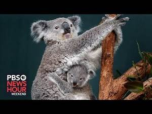 Australia's efforts to bring koalas back from the brink of extinction
