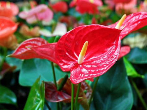 [click]anthurium Care - Tips On The Proper Care For Anthurium.