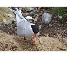 Best Arctic tern diet