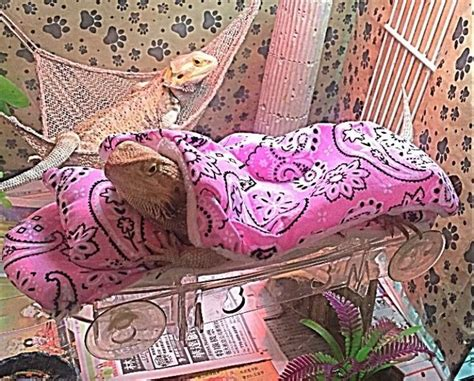 Bearded Dragon Bedding Options
