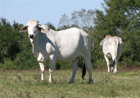 Brahman Cattle Longevity And Can I Mic Dandelion And Longevity