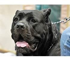 Best Cane corso street pits as protection dogs