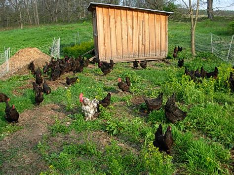 Chicken-Tractor-Plans-For-50-Chickens