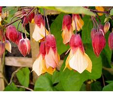 Best Climbing shrubs with yellow flowers