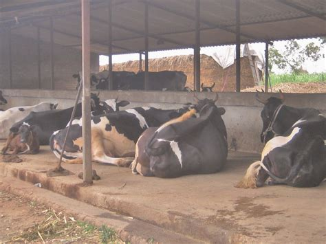 Cow-Shed-Plans-And-Designs-In-India
