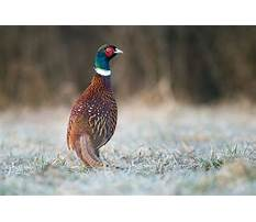 Best Day old pheasant chicks
