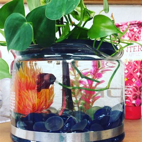 Diy Betta Fish Aquaponics