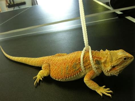 Diy Leash For Bearded Dragon