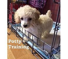Best Dog training toy poodle.aspx