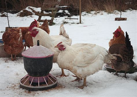 Free Chicken Coop Plans For Snow