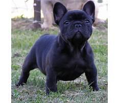 Best French bulldog