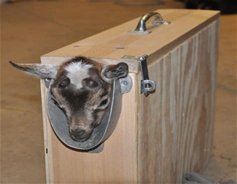 Goat-Kid-Disbudding-Box-Plans