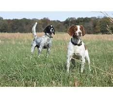 Best Gun dog training techniques.aspx