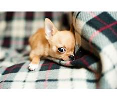 Best Habitat and diet of a chihuahuas