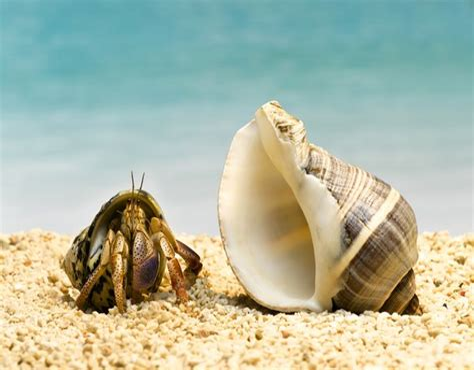 Hermit Crab Longevity And Longevity Clipart