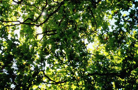 How Do Ash Trees Reproduce