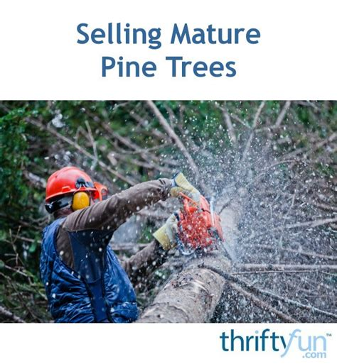 How Much Are Pine Trees Selling For