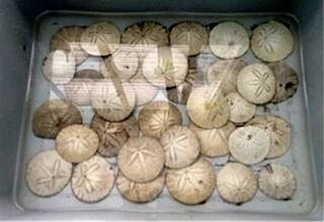 How To Bleach Sand Dollars White
