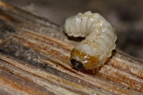 How To Diy Wood Eating Insects