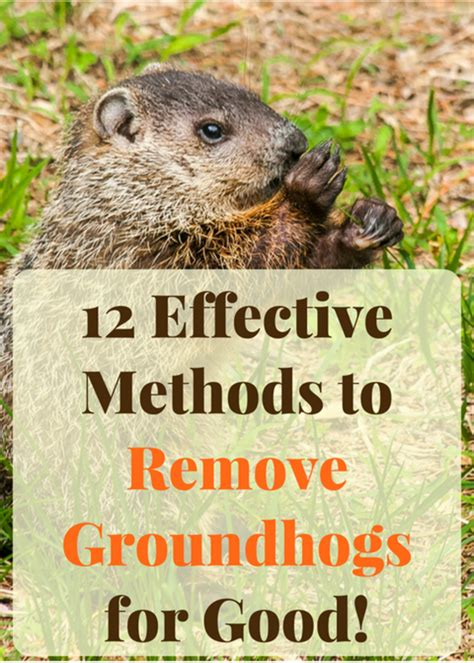 How To Get Rid Of Woodchucks Under A Shed