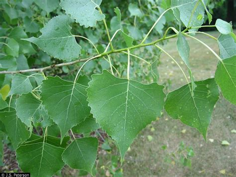 How To Identify A Cottonwood Tree Leaves