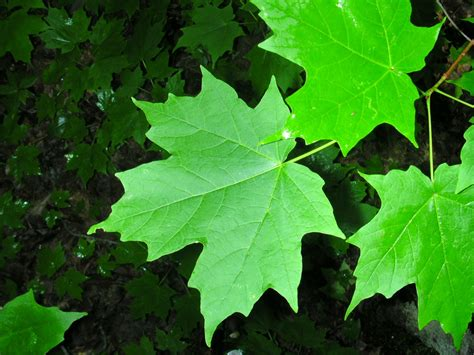 How To Identify A Sugar Maple Without Leaves Coloring