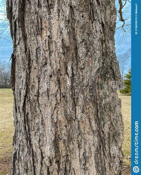 How To Identify A Sugar Maples Bark
